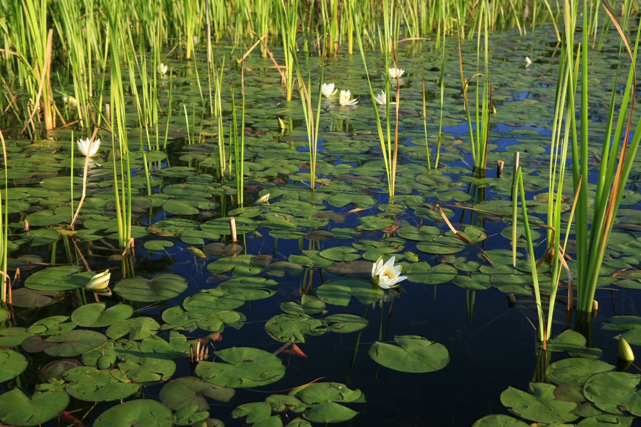 2012 - Waterlilies and cattails