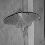 2014 - A rare sighting of a luna moth.  It was parked just inside Ogontz Hall one evening