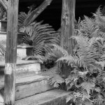 2014 - Ferns by the Adirondack cabins